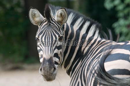 equus, quagga - 221040