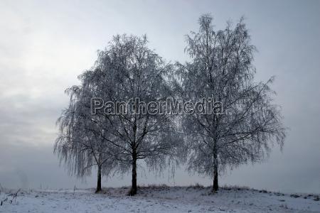 three birches in winter dress
