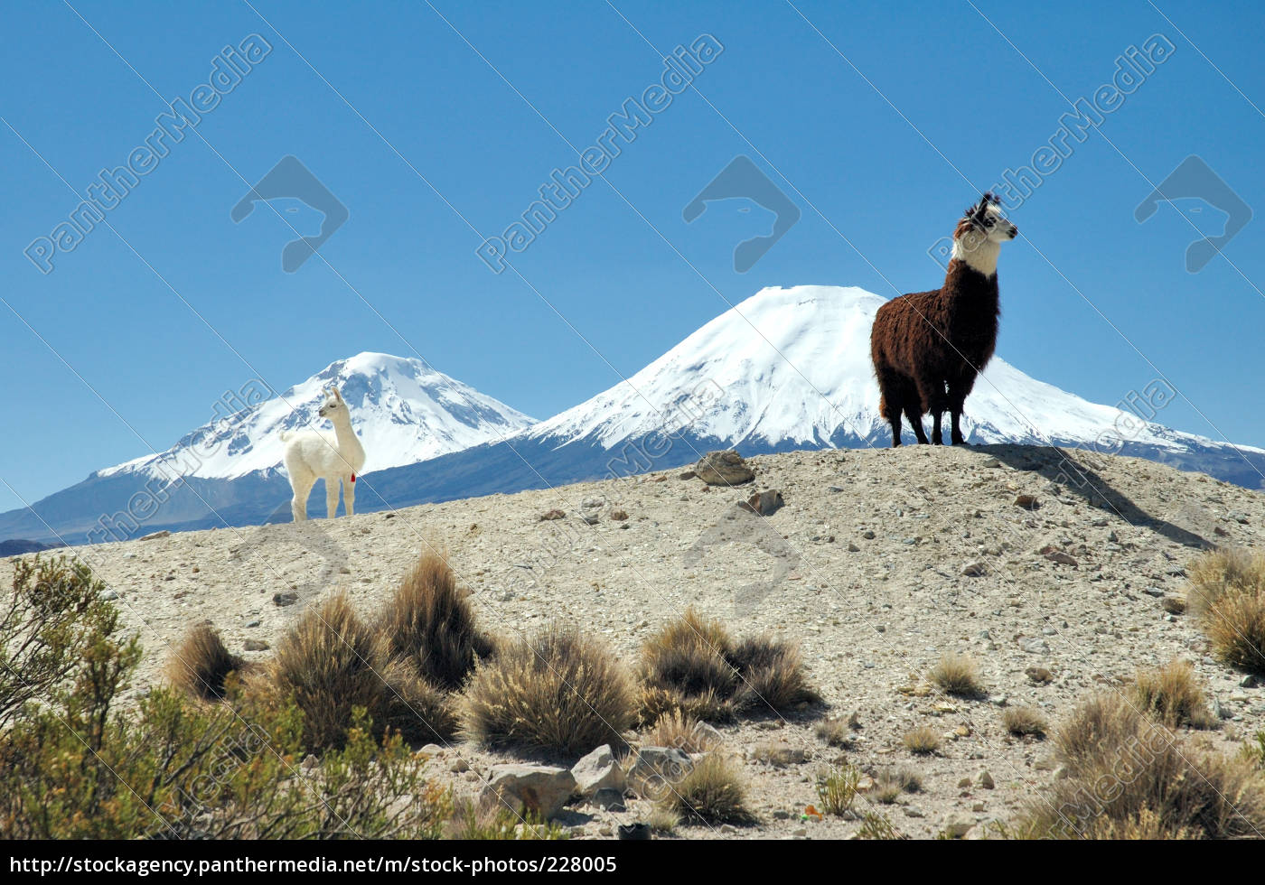 alpacas, in, chile - 228005