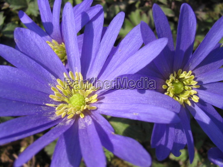 azul primavera anemona planta bulbosa strahlenanemone