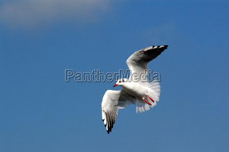black-headed, gull - 234697