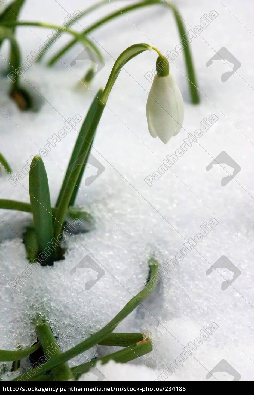 snowdrop - 234185