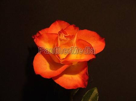 red rose dream