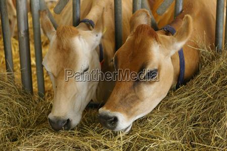jersey, cattle - 237558