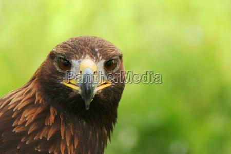 animal bird austrians birds eyes raptor