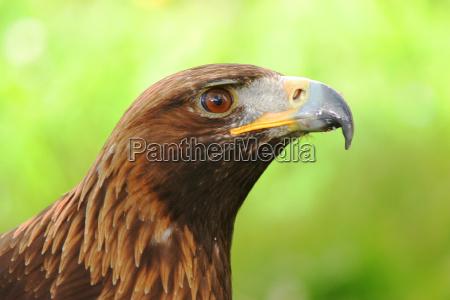 flies bird animals birds raptor eagle