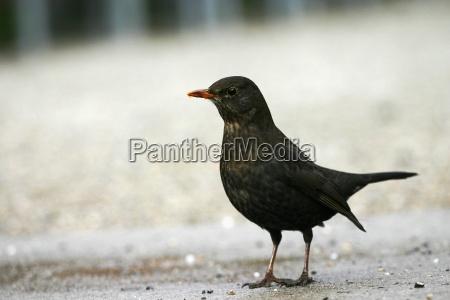 blackbird 2004 02