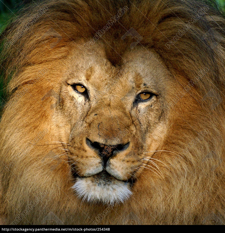 zoo, lion - 254348