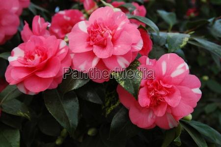 camellia, -, rose, of, winter, 1 - 256215