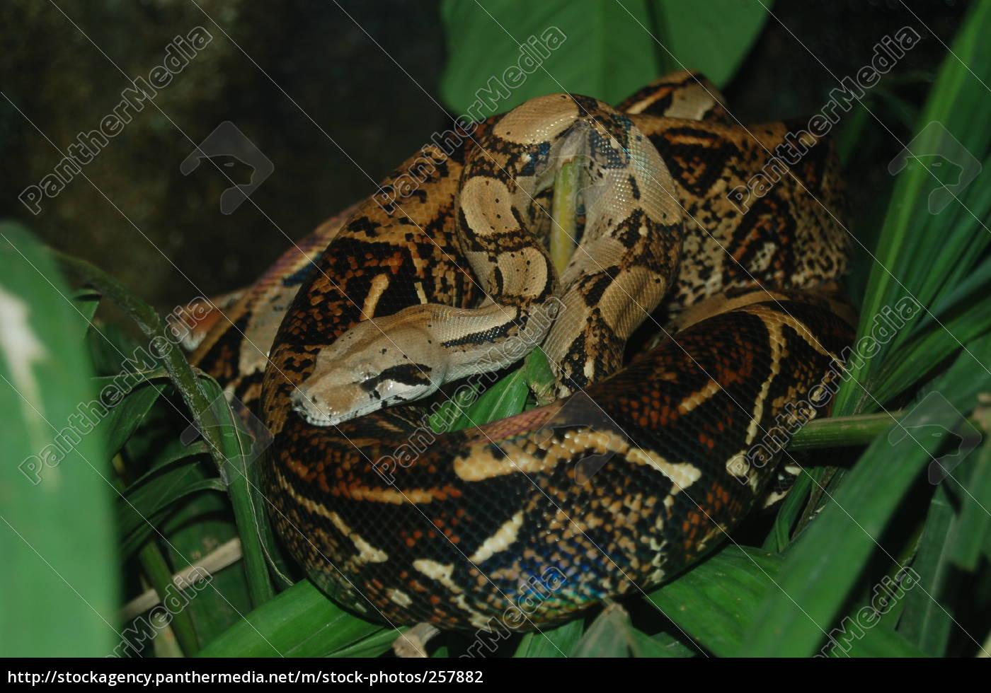 boa, constrictor - 257882