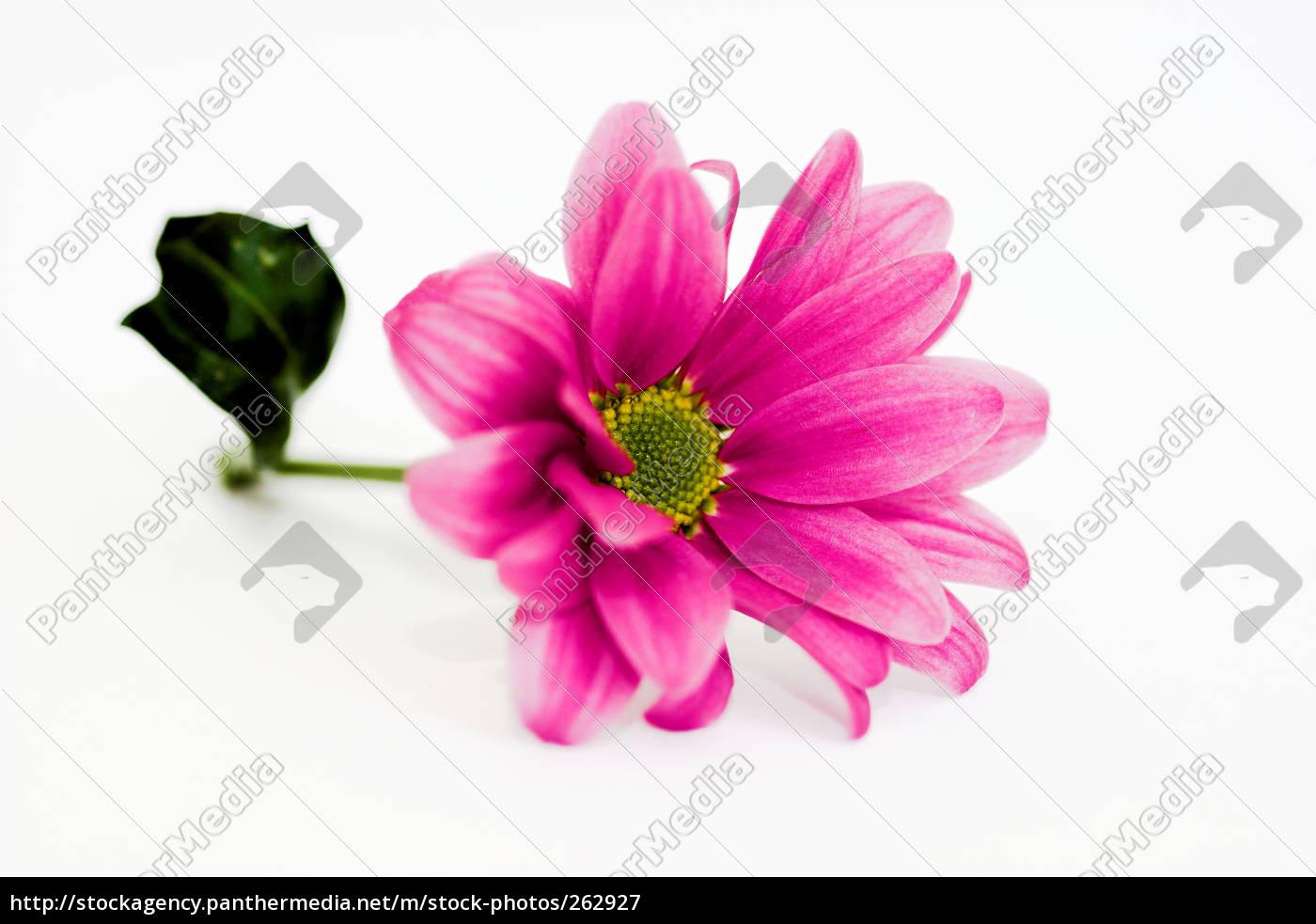 chrysanthemums, ii - 262927