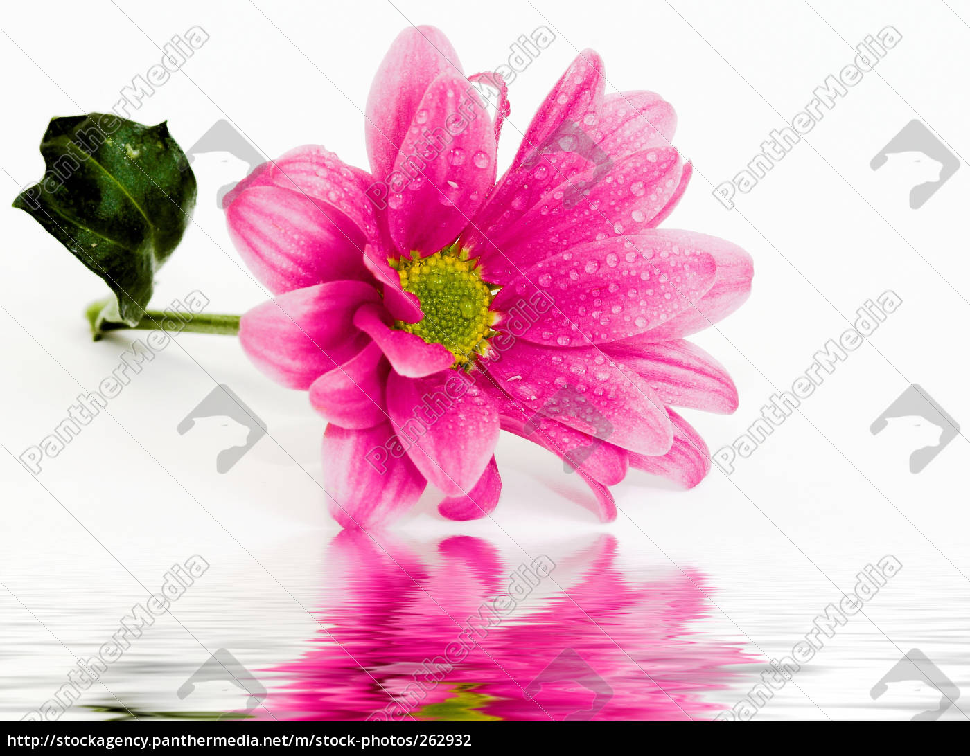 wet, chrysanthemums, i, part, iii - 262932
