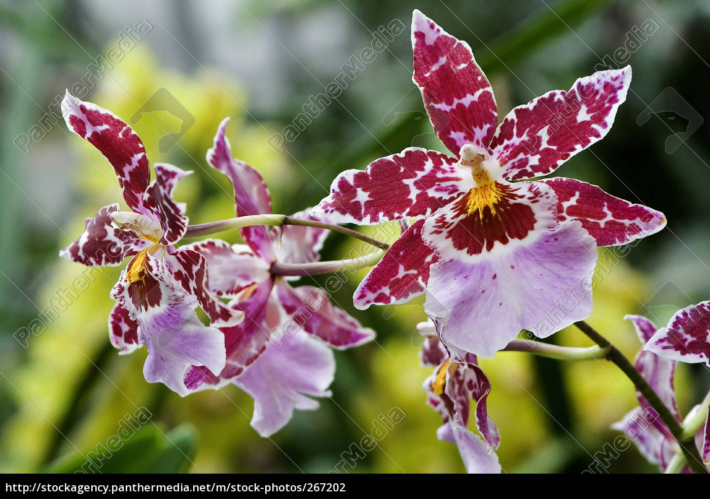 toothed, tongue, orchid - 267202