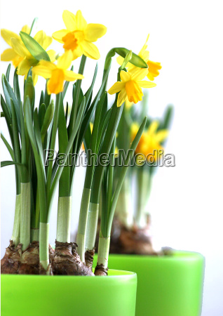 daffodils - 269506