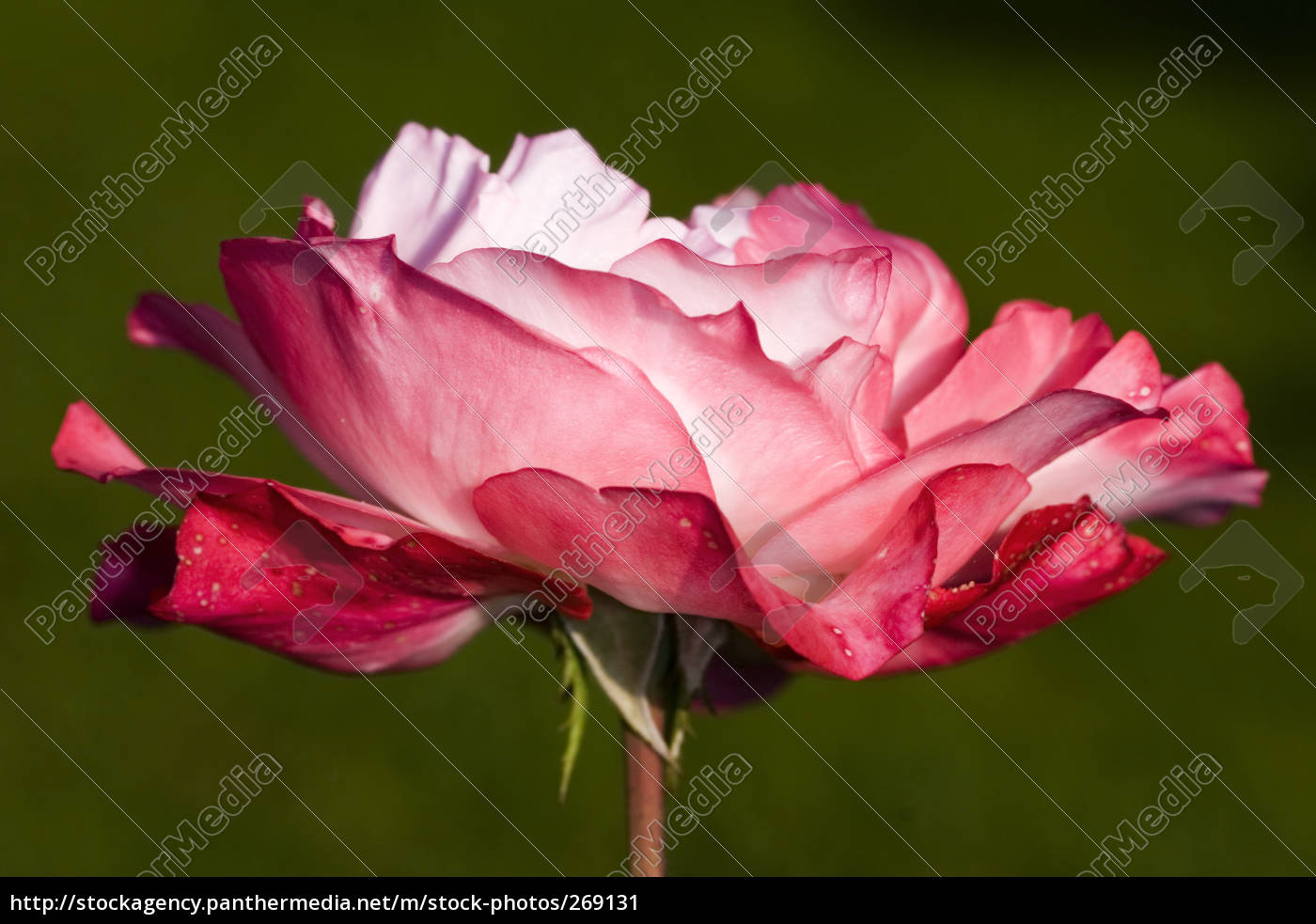 nostalgia, rose, -2- - 269131