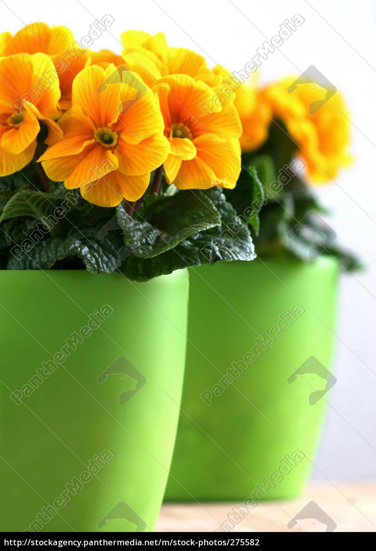 yellow, primroses - 275582