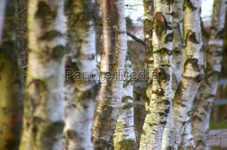 birch, series - 277850