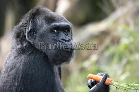 gorilla - 278751
