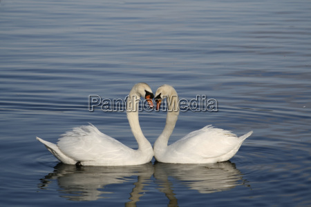 love, swans - 279658