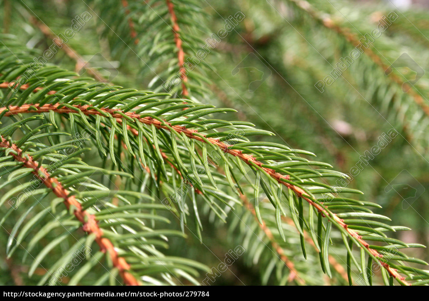 pine, needles - 279784