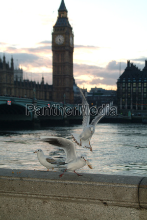 big ben seagulls on the thames
