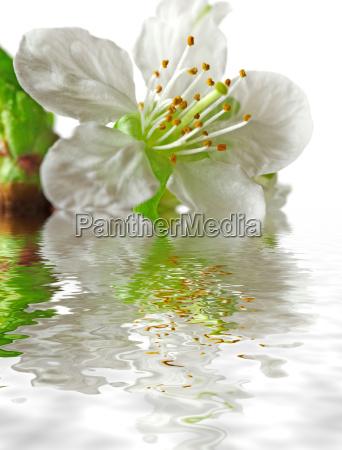 cherry, blossom - 285035