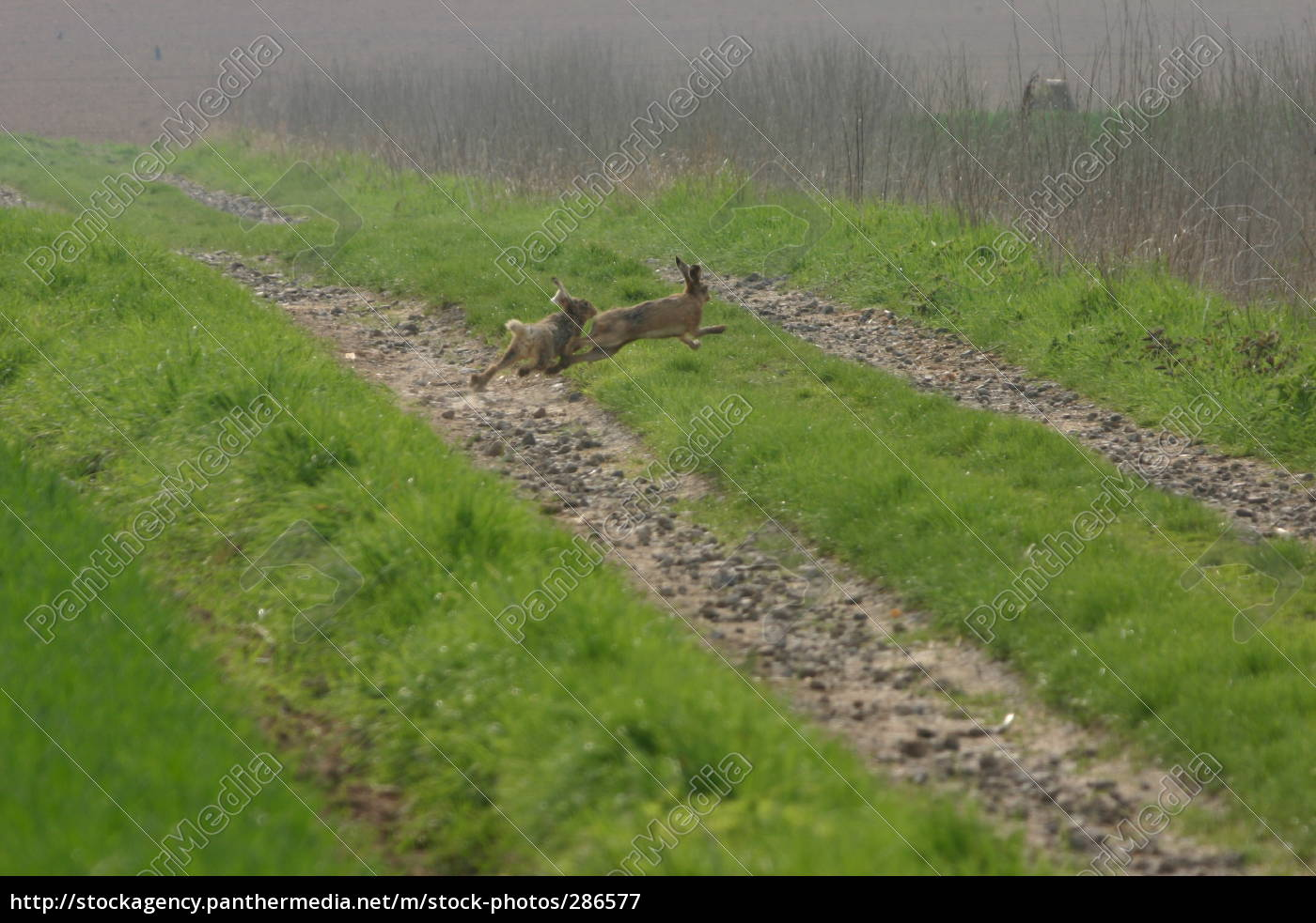 hares - 286577