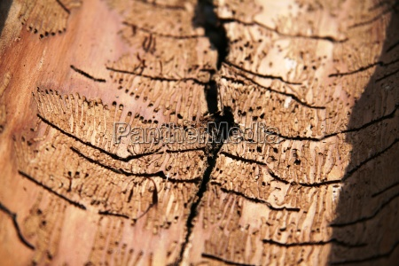 bark, beetles, victims - 288772