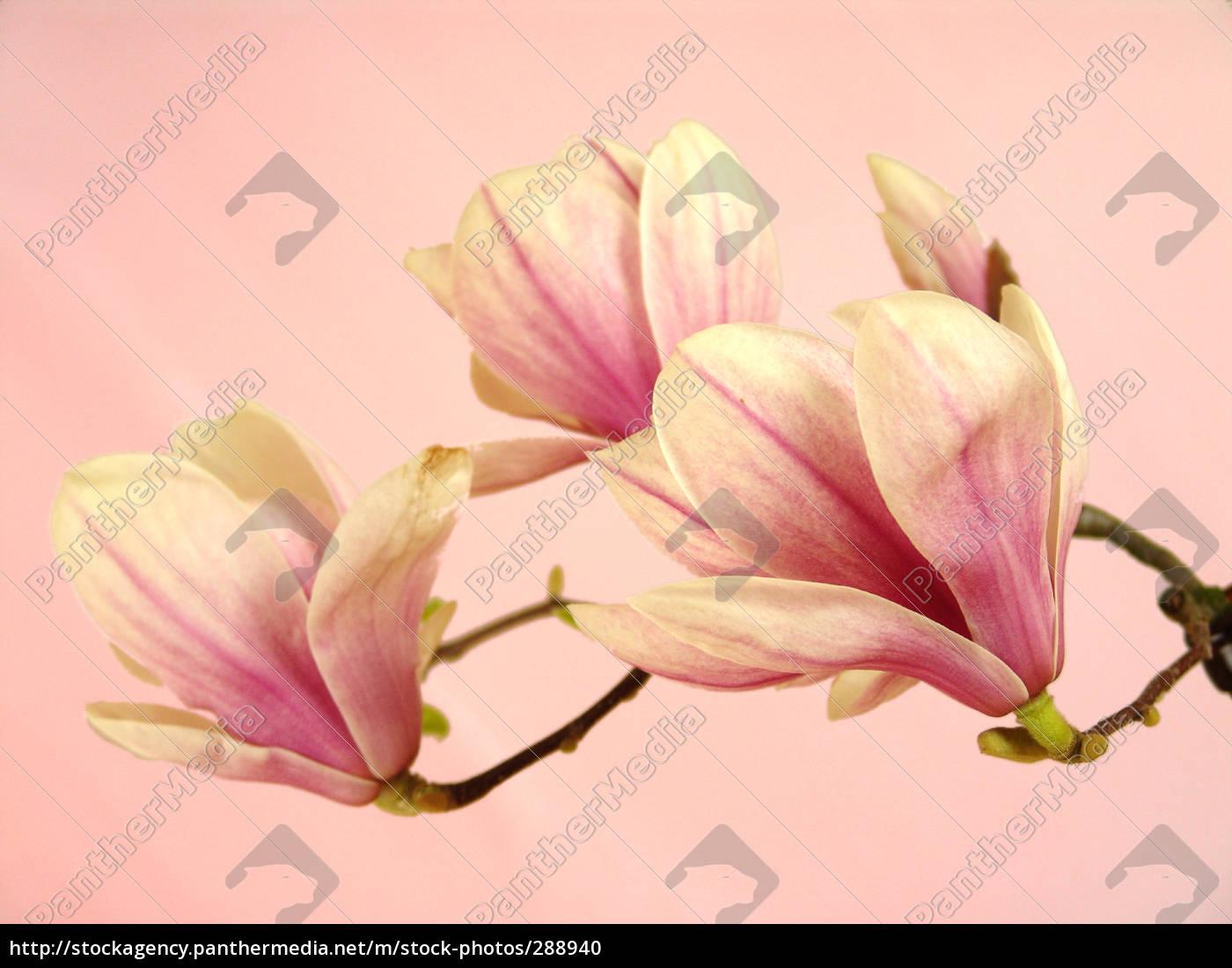 magnolia, blossoms - 288940