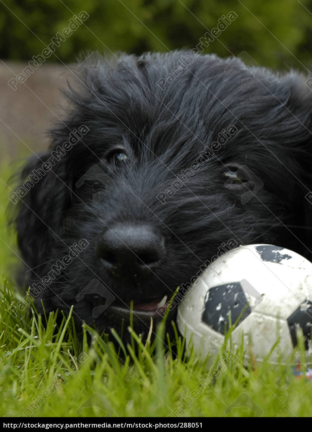 puppy, in, world, cup, fever - 288051
