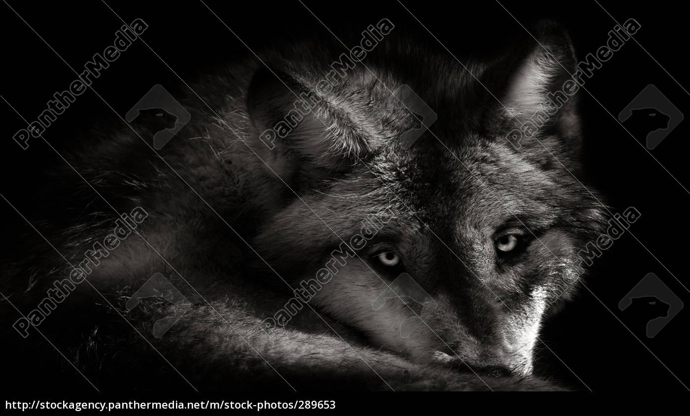 wolf, 2 - 289653