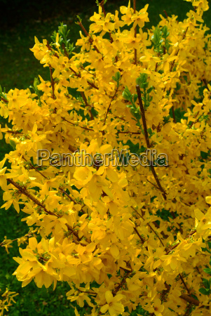 flower forsythia