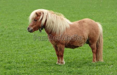 shetland, pony - 294715