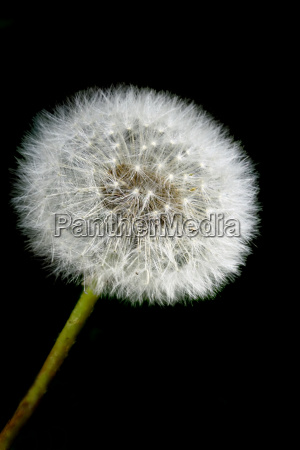 pusteblume, with, dark, background - 297987