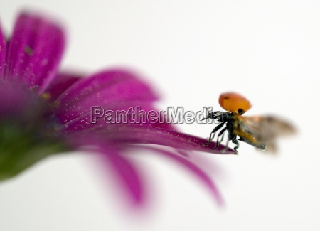 ladybird - 299175