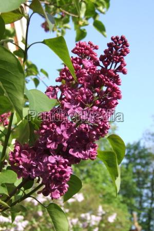 red precious lilac