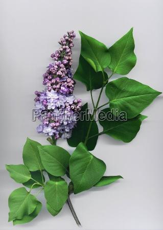 lilac - 304117