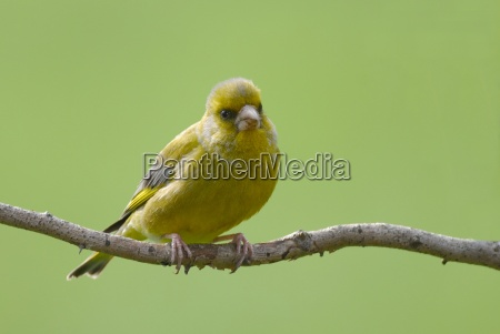 greenfinch, carduelis, chloris - 305947