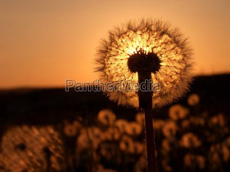 dandelion, pusteblume - 306549