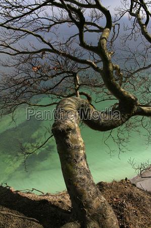 tree, on, the, chalk, cliffs - 307806