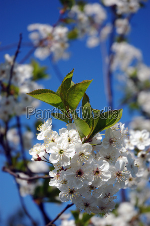 apple, blossom - 310483