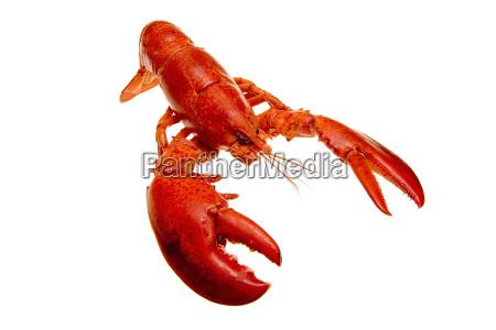 lobster - 315048