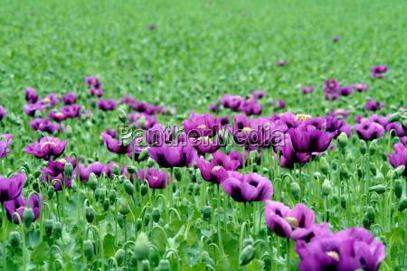poppy - 315276
