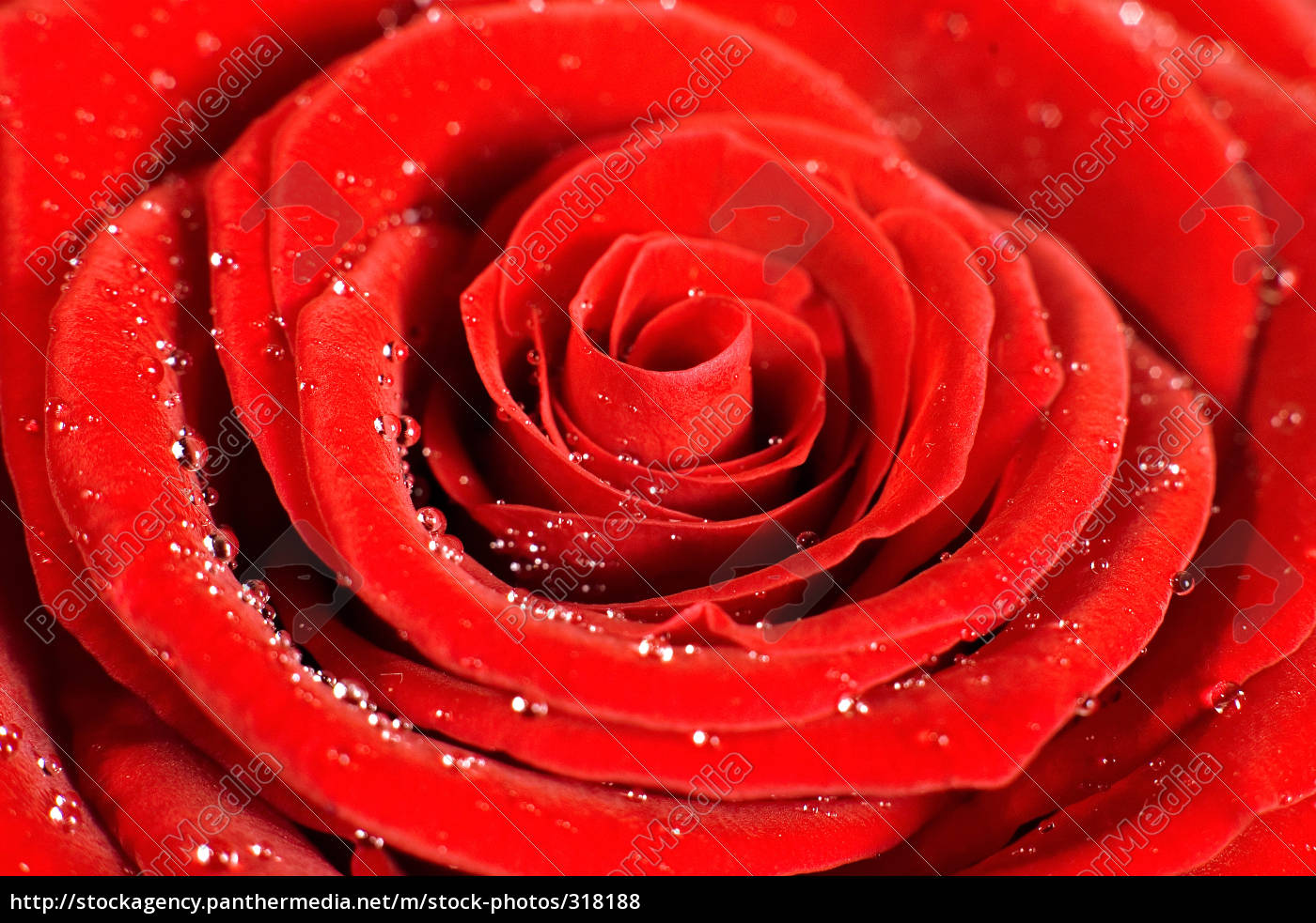 rose1 - 318188