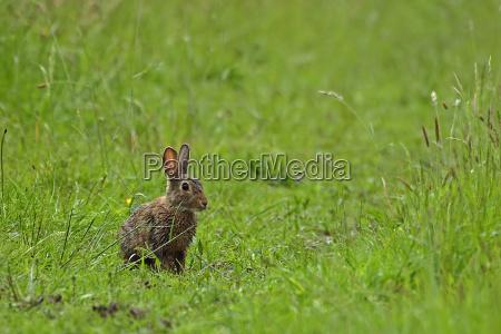 wild, rabbit, -, oryctolagus, cuniculus - 321910