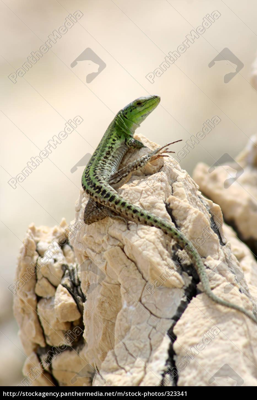 lizard - 323341