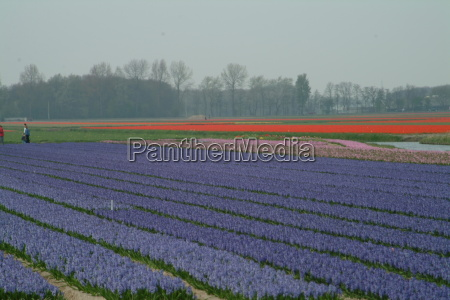 blue tulips line