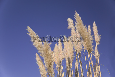 reed 1