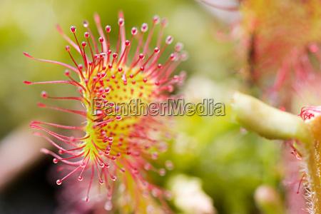 journal of drosera rotundifolia 6