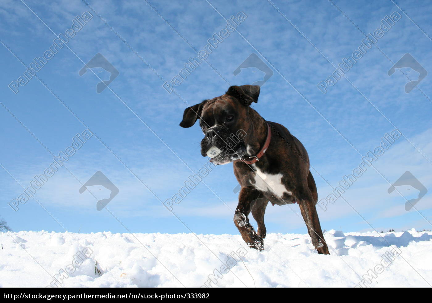 boxer, dog, luna, with, ball, in - 333982